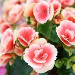 【母の日】カーネーション以外のお花を贈るなら?イイハナ