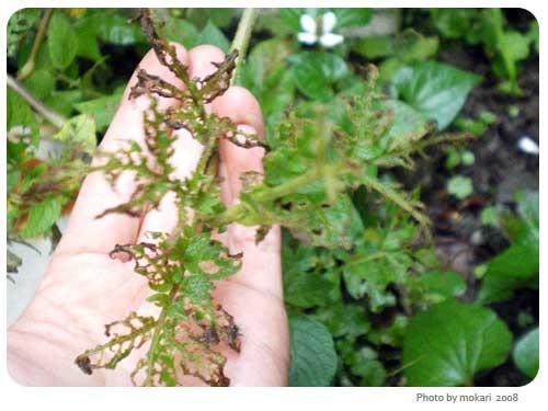 20080629-2 うちの庭と、ラタトゥユ。(3日目)