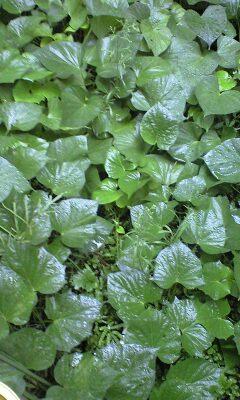 20080924-10 さつまいもの茎を食べる。