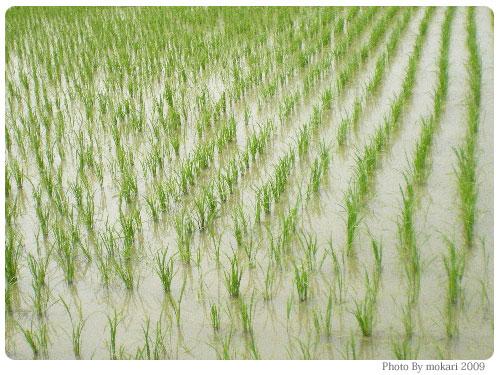 20090623-5 お米の季節ですね。
