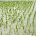お米の季節ですね。
