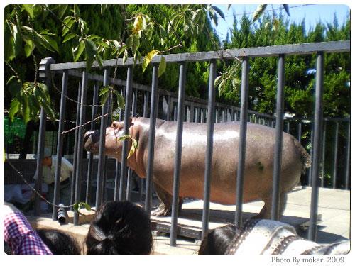 20090915-10 京都市動物園の「カバさんの体重測定」に参加して。