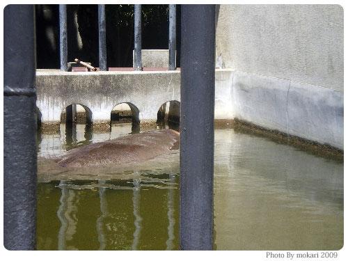 20090916-4 京都市動物園の「カバさんの体重測定」に参加して。