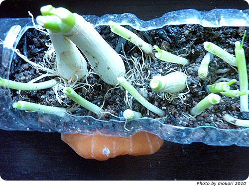 20100620-5 むしょうにネギを植えたくなりまして。