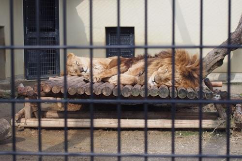 P1114011 もうじゅうワールド ライオン
