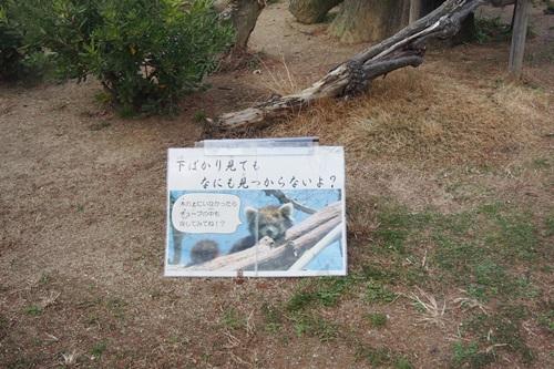 P1114016 京都市動物園のレッサーパンダ