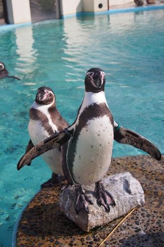 P1114060 フンボルトペンギン