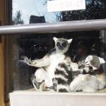 京都市動物園リニューアル中、サルワールドと熱帯動物園(2015年1月)
