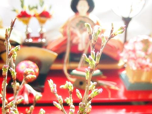 P3053567 桜の枝「みちのく初桜」が贈られてきた。冬から春にかけての贈り物に