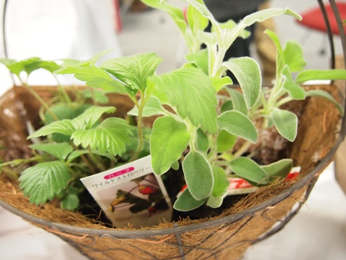 P3088924 バジルを育てることができる、花くらす*野菜くらすの栽培キット