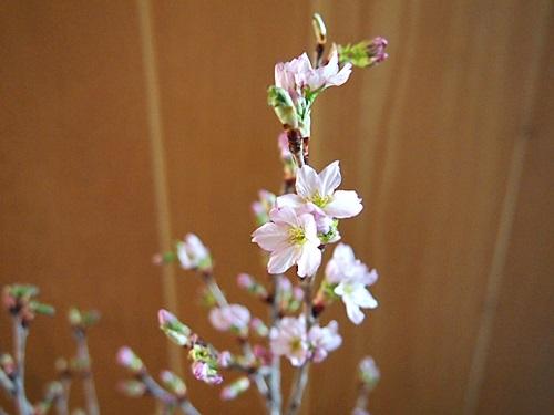 P3093784 みちのく初桜が、咲いた