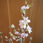 みちのく初桜が、咲いた