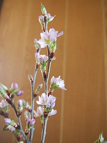 P3093785 みちのく初桜が、咲いた