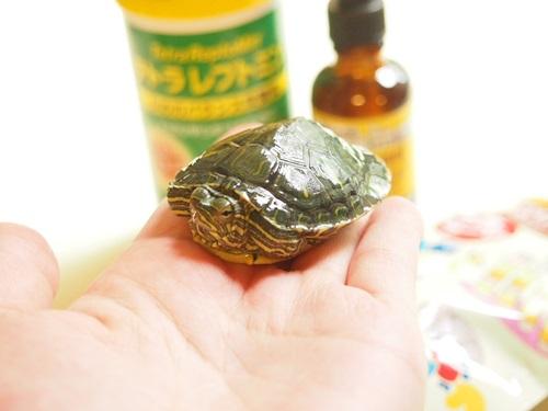 P7077205 うちの亀です