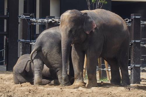 P7196843 京都市動物園のゾウ