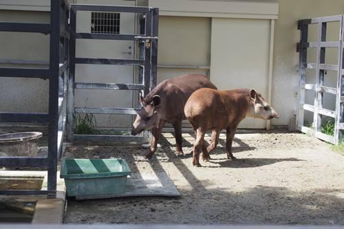 P7196850 京都市動物園 ブラジルバク