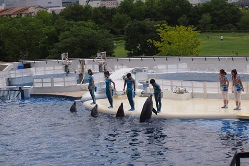P7280435 京都水族館のイルカショー