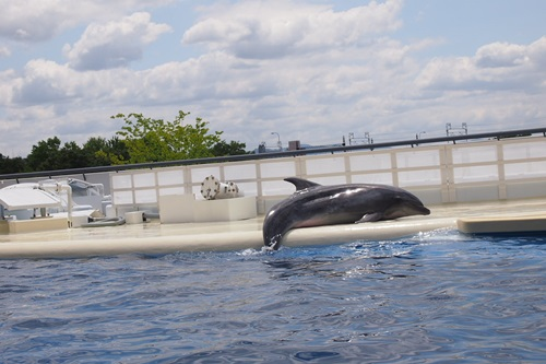P7280453 京都水族館のイルカショー