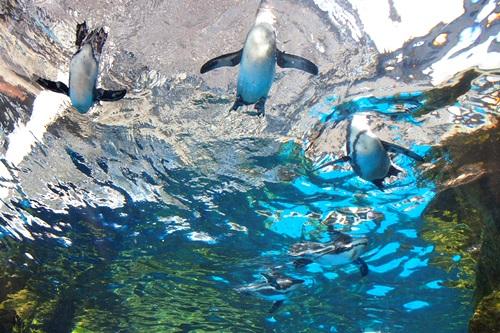 P7280528 京都水族館のペンギンは頭の上にいる