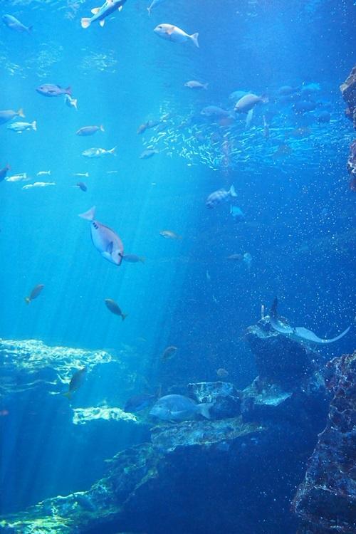 P7280546 京都水族館で見た気になる生き物 大水槽