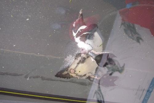 P7280562 京都水族館のペンギン