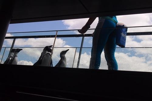 P7280576 京都水族館のペンギンは頭の上にいる