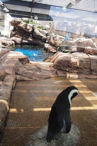 P7280589 京都水族館のペンギンは頭の上にいる
