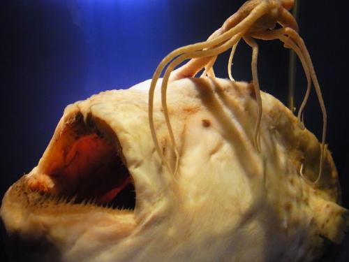 R1156495 はじめての、神奈川「新江ノ島水族館」 おかーさん深海生物が楽しみだった編